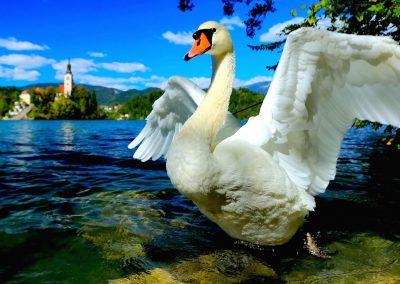 swan_cover-art